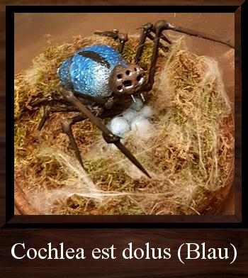 Cochlea est dolus (Blau)